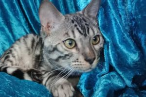 Champion Mike - Silver Bengal