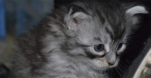 Maine Coon Kitten Perth